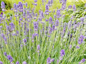 How To Use Lavender Oil For Burns